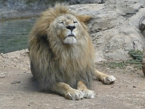 lion-1145307_640